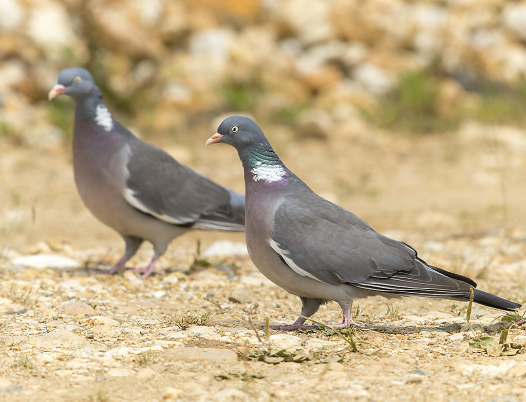 Columba palumbus; Ringeltaube; Woodpigeon; birds; columbidae; doves; leo; tauben; vögel