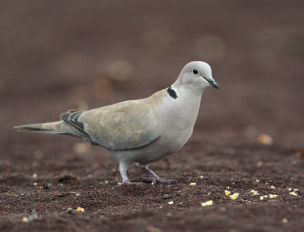 Collared Dove; Fuerteventura; Kanarische Inseln; Streptopelia decaocto; Türkentaube; birds; columbidae; doves; pröhl; spanien; tauben; vögel