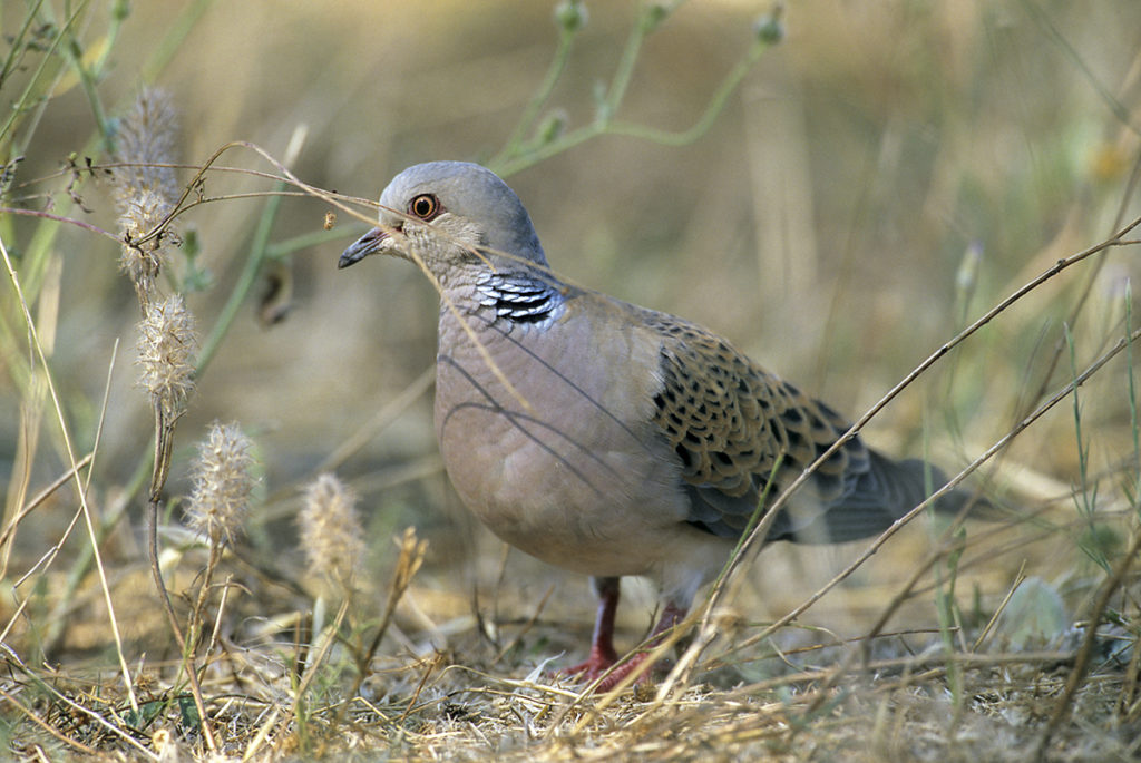 Streptopelia turtur; Turteltaube; Turtle Dove; birds; columbidae; doves; leo; tauben; vögel