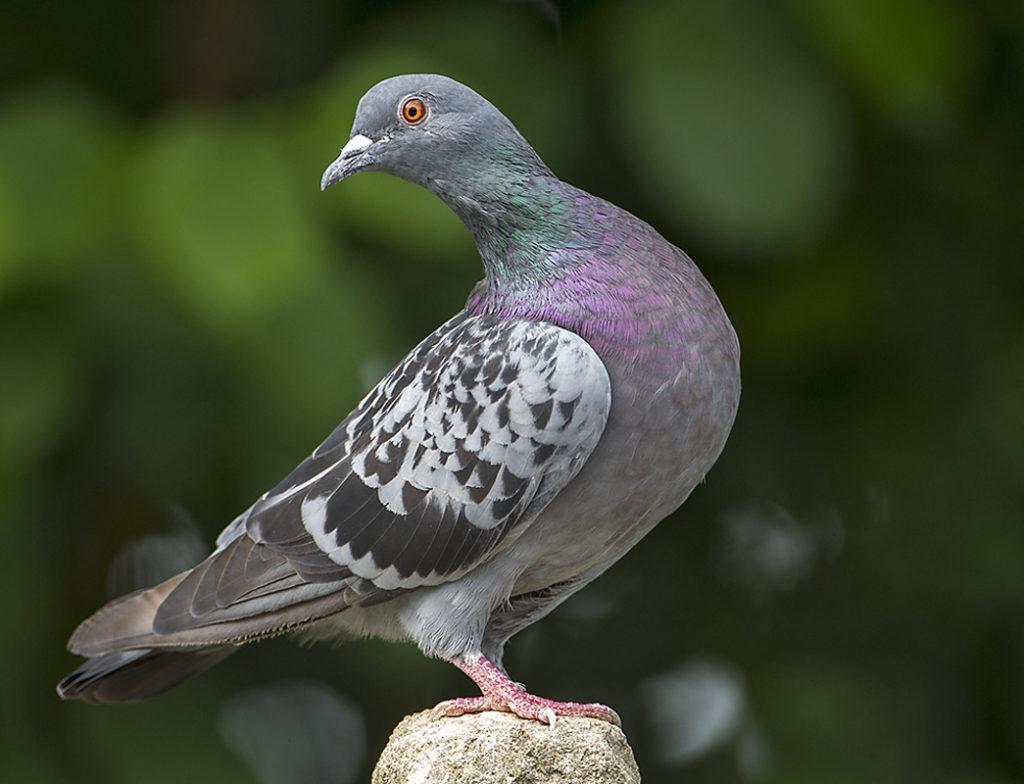 Columba livia domestica; Feral Pigeon; Haustaube; Stadttaube; Straßentaube; birds; columbidae; doves; pröhl; tauben; vögel