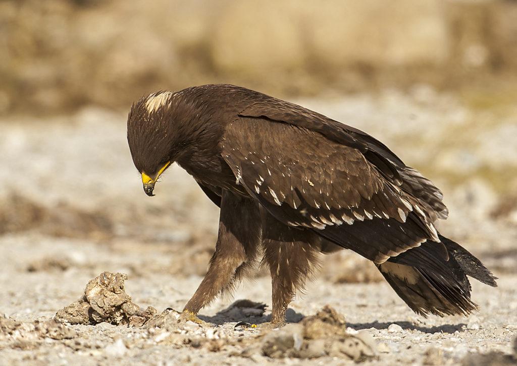Aquila pomarina; Lesser Spotted Eagle; Oman; Schreiadler; adler; birds; eagle; falconiformes; greifvögel; juv.; pröhl; raptors; vögel