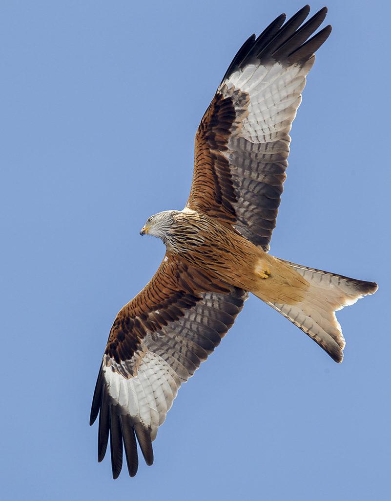 Milvus milvus; Red Kite; Roter Milan; Rotmilan; birds; falconiformes; flight; flug; greifvögel; pröhl; raptors; vögel