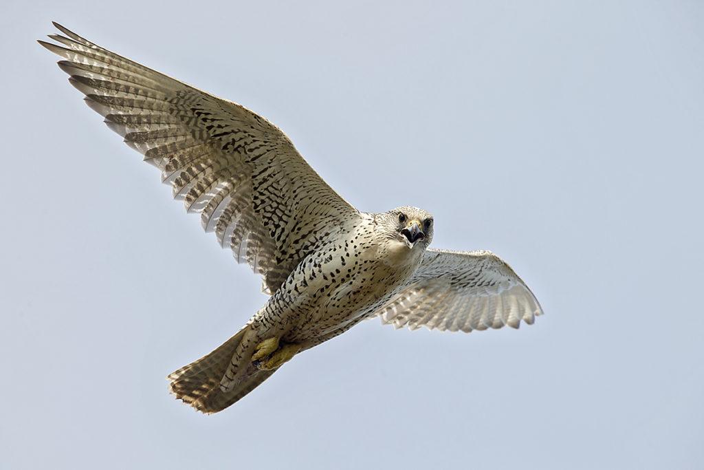 Falco rusticolus; Gerfalke; Gyrfalcon; Iceland; Island; Islandfalke; Kretschet; ad.; adult; birds; falconiformes; flight; flug; greifvögel; pröhl; raptors; vögel