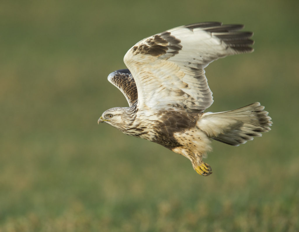 Accipitriformes; Buteo lagopus; Rauhfußbussard; Rough-legged Buzzard; birds; flight; flug; greifvögel; juvenil; pröhl; raptors; vögel