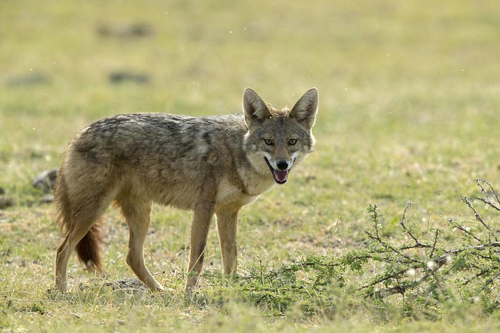 Abessinien; Aethiopien; Afrikanischer Goldwolf; Canis anthus; Canis aureus; Carnivora; Ethiopia; Golden jackal; Goldschakal; Raubtiere; mammals; pröhl; säugetiere; Äthiopien