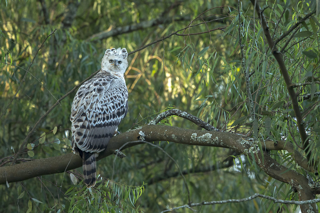Accipitriformes; Aethiopien; Crowned Hawk-Eagle; Kronenadler; Stephanoaetus coronatus; adler; birds; eagle; greifvögel; juvenil; pröhl; raptors; vögel; Äthiopien
