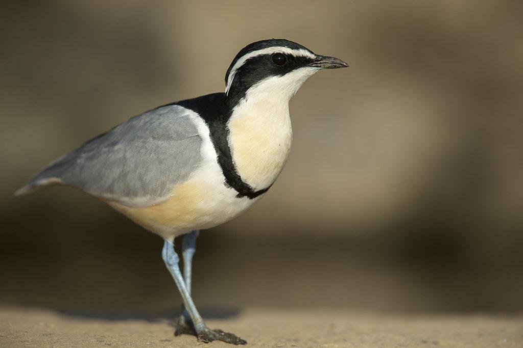Aethiopien; Crocodile-bird; Krokodilwächter; Pluvianus aegyptius; birds; charadriiformes; limikolen; pröhl; vögel; Äthiopien