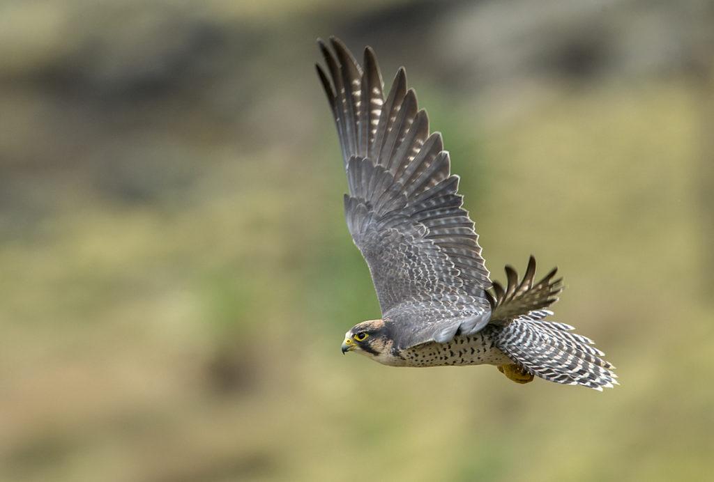 Aethiopien; Falco biarmicus abyssinicus; Lanner; Lannerfalke; Lannerfalke sspec.2; adult; birds; falconiformes; flight; flug; greifvögel; pröhl; raptors; vögel; Äthiopien