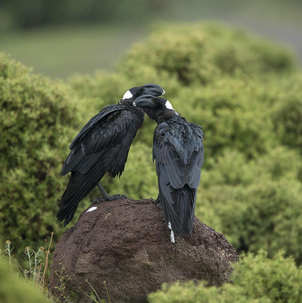 Aethiopien; Corvus crassirostris; Erzrabe; Thick-billed Raven; corvidae family of birds; passeri; pröhl; rabenvögel; singvögel; songbirds; Äthiopien