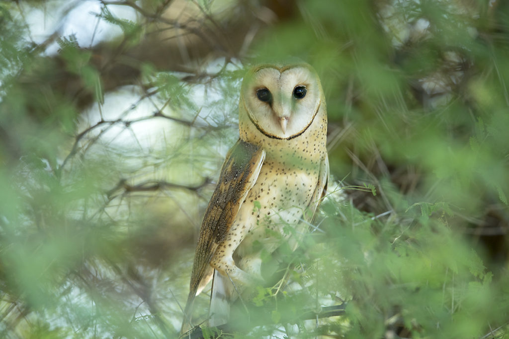 Aethiopien; Alatish Nationalpark; Barn Owl; Schleiereule; Tyto alba; Tyto alba affinis; birds; eulen; owls; pröhl; strigiformes; vögel; Äthiopien