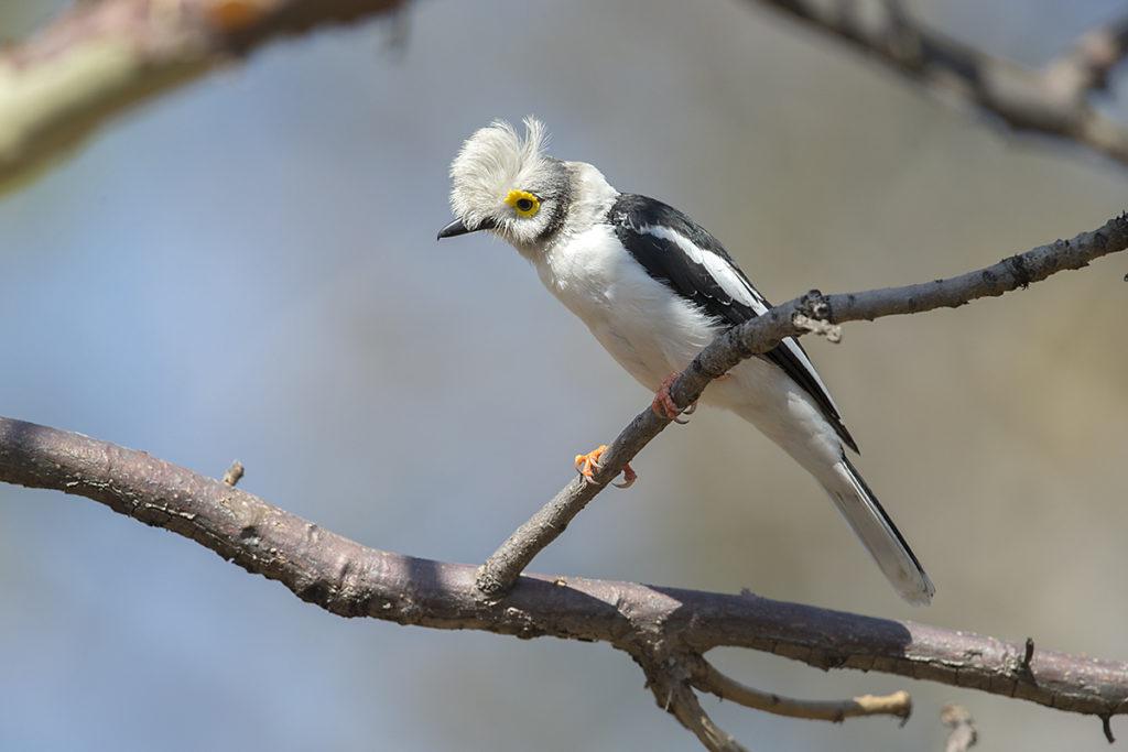 Aethiopien; Prionops plumatus concinnatus; Weißschopf-Brillenwürger; White Helmetshrike; birds; passeri; pröhl; singvögel; songbirds; vögel; Äthiopien