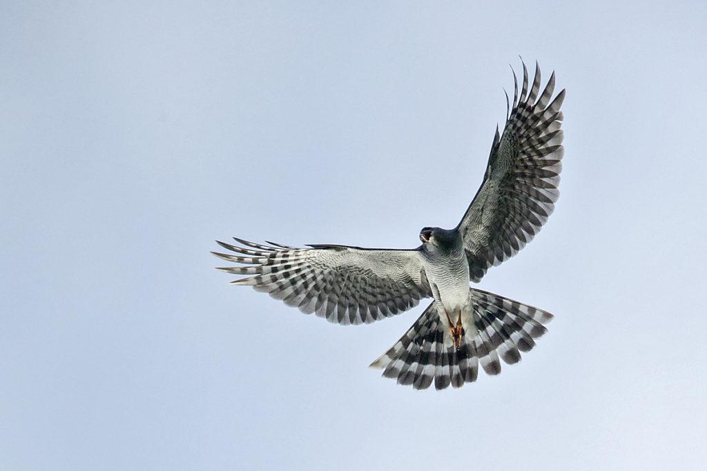 Accipiter ovampensis; Accipitriformes; Aethiopien; Ovambo Sparrowhawk; Ovambosperber; birds; flight; flug; greifvögel; high size; hochformat; pröhl; raptors; vögel; Äthiopien