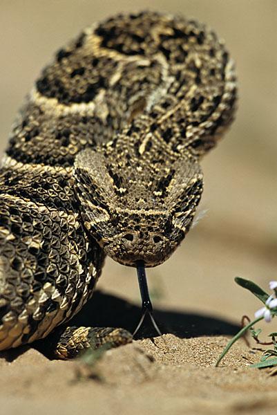 Bitis arietans; Puff adder; Puffotter; critters; high size; hochformat; kriechtiere; marokko; männchen; pröhl; reptilia; reptilien; schlangen; snakes