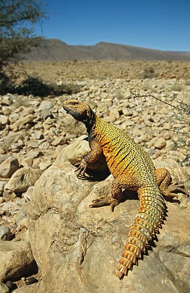 Dornschwanz; Ocellated Uromastyx Lizard; Uromastyx acanthinurus; critters; high size; hochformat; kriechtiere; marokko; pröhl; reptilia; reptilien
