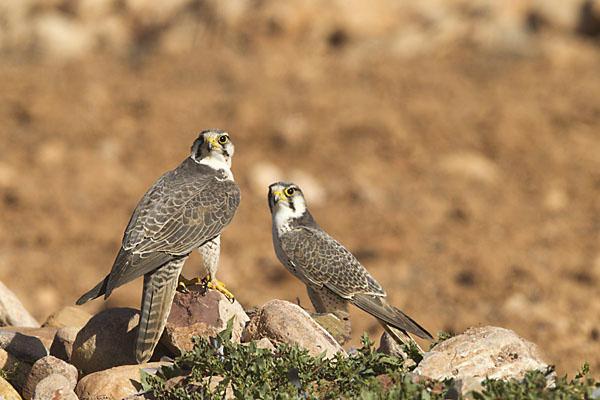 Falco biarmicus erlangeri; Lanner; Lannerfalke; Lannerfalke sspec.1; Morocco; birds; falconiformes; greifvögel; marokko; pröhl; raptors; vögel