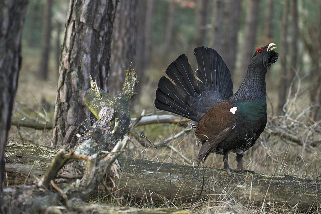 In den Naturparken Niederlausitzer Heidelandschaft und Niederlausitzer Landrücken läuft seit 2012 ein ehrgeiziges und bisher recht erfolgreiches Projekt zur Wiederansiedlung des Auerhuhns in Lausitzer Wäldern.
