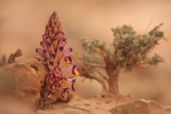 Cistanche; Cistanche violacea; Orobanchaceae; Sommerwurzgewächse; Violette Cistanche; flora; marokko; pflanzen; plants; pröhl