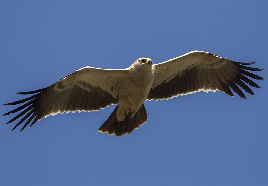 Abessinien; Aethiopien; Aquila rapax; Ethiopia; Raubadler; Savannenadler; Tawny Eagle; adler; birds; eagle; falconiformes; flight; flug; greifvögel; pröhl; raptors; vögel; Äthiopien