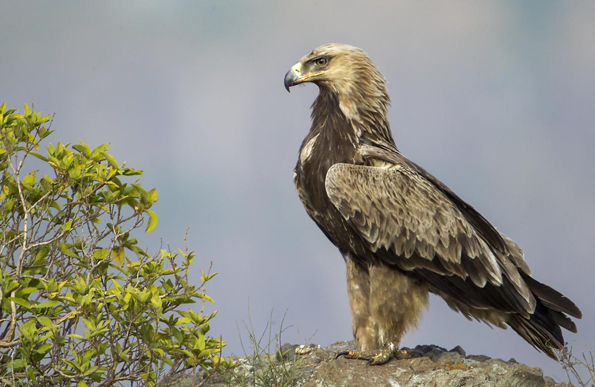 Abessinien; Aethiopien; Aquila rapax; Ethiopia; Raubadler; Savannenadler; Tawny Eagle; adler; birds; eagle; falconiformes; greifvögel; pröhl; raptors; vögel; Äthiopien