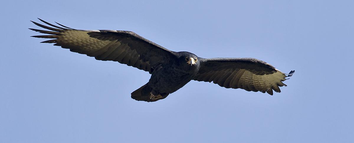 Abessinien; Aethiopien; Aquila verreauxii; Black Eagle; Ethiopia; Kaffernadler; Verreaux's Eagle; adler; birds; eagle; falconiformes; flight; flug; greifvögel; pröhl; raptors; vögel; Äthiopien