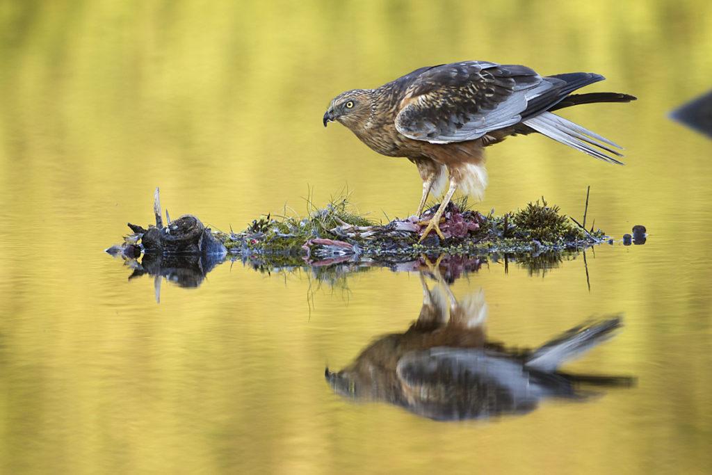 Circus aeruginosus; Marsh Harrier; Rohrweihe; beute; birds; capture; falconiformes; greifvögel; hunting; jagd; male; mirror; männchen; pröhl; raptors; spiegelbild; vögel