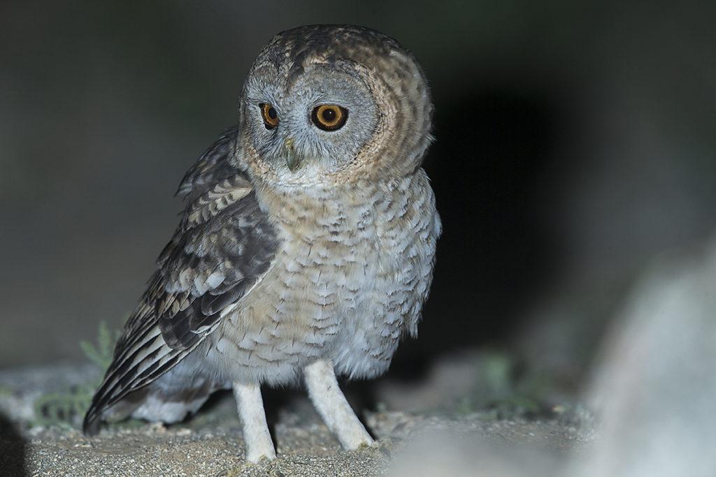 Aegypten; Desert Tawny Owl; Egypt; Fahlkauz; Strix butleri; Strix hadorami; Wüstenfahlkauz; birds; eulen; owls; pröhl; strigiformes; vögel; Ägypten
