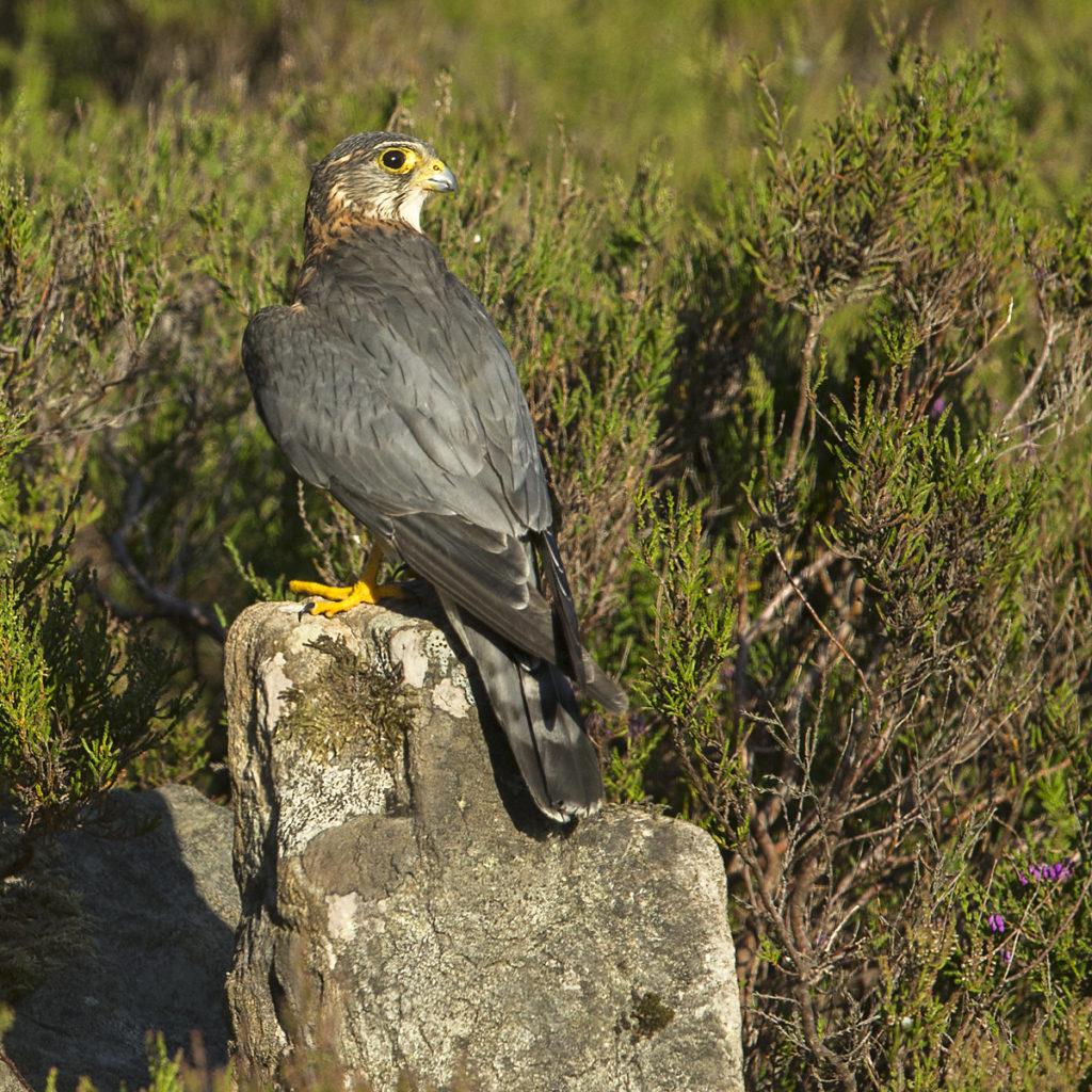 birds, Falco columbarius, Falco columbarius aesalon, falconiformes, greifvögel, male, männchen, Merlin, pröhl, raptors, Schottland, Scotland, vögel