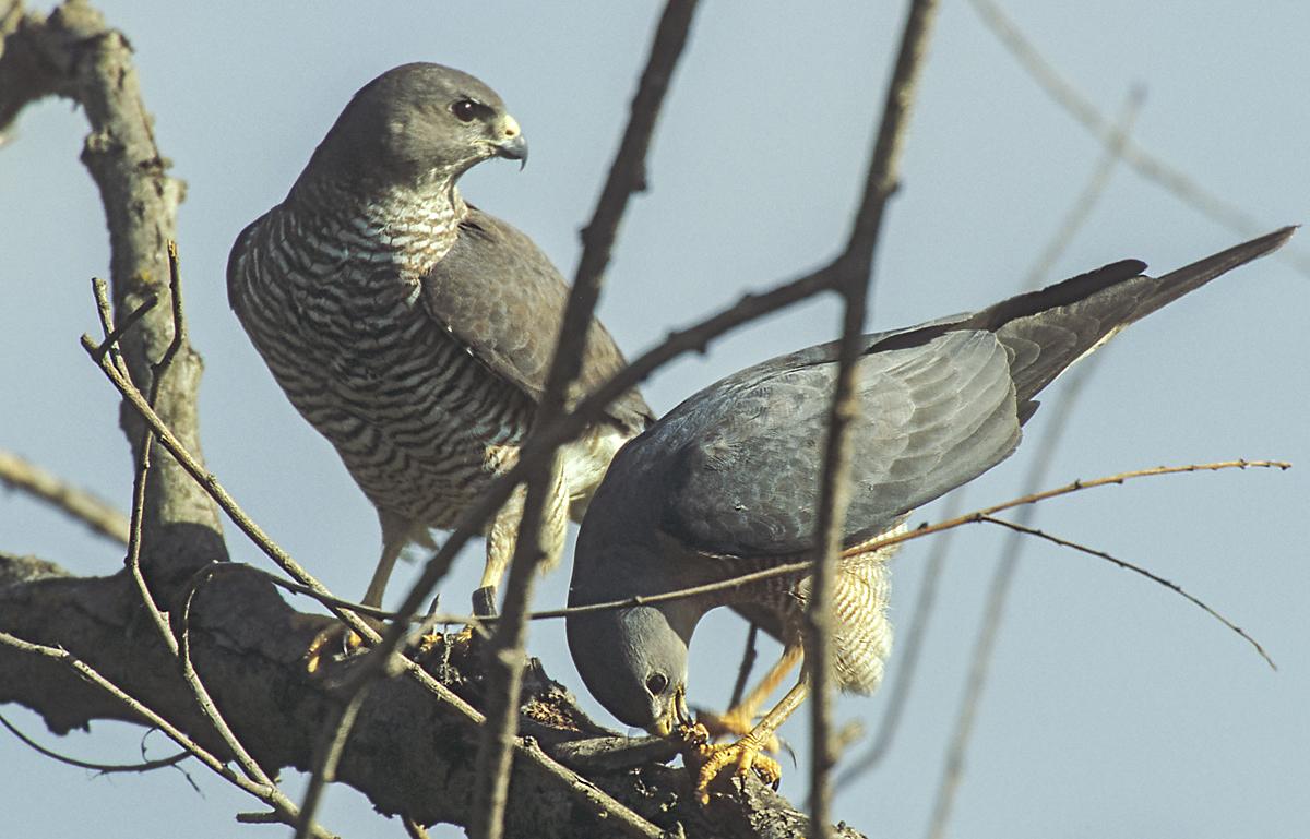Accipiter brevipes; Kurzfangsperber; bulgarien; greifvögel; pröhl