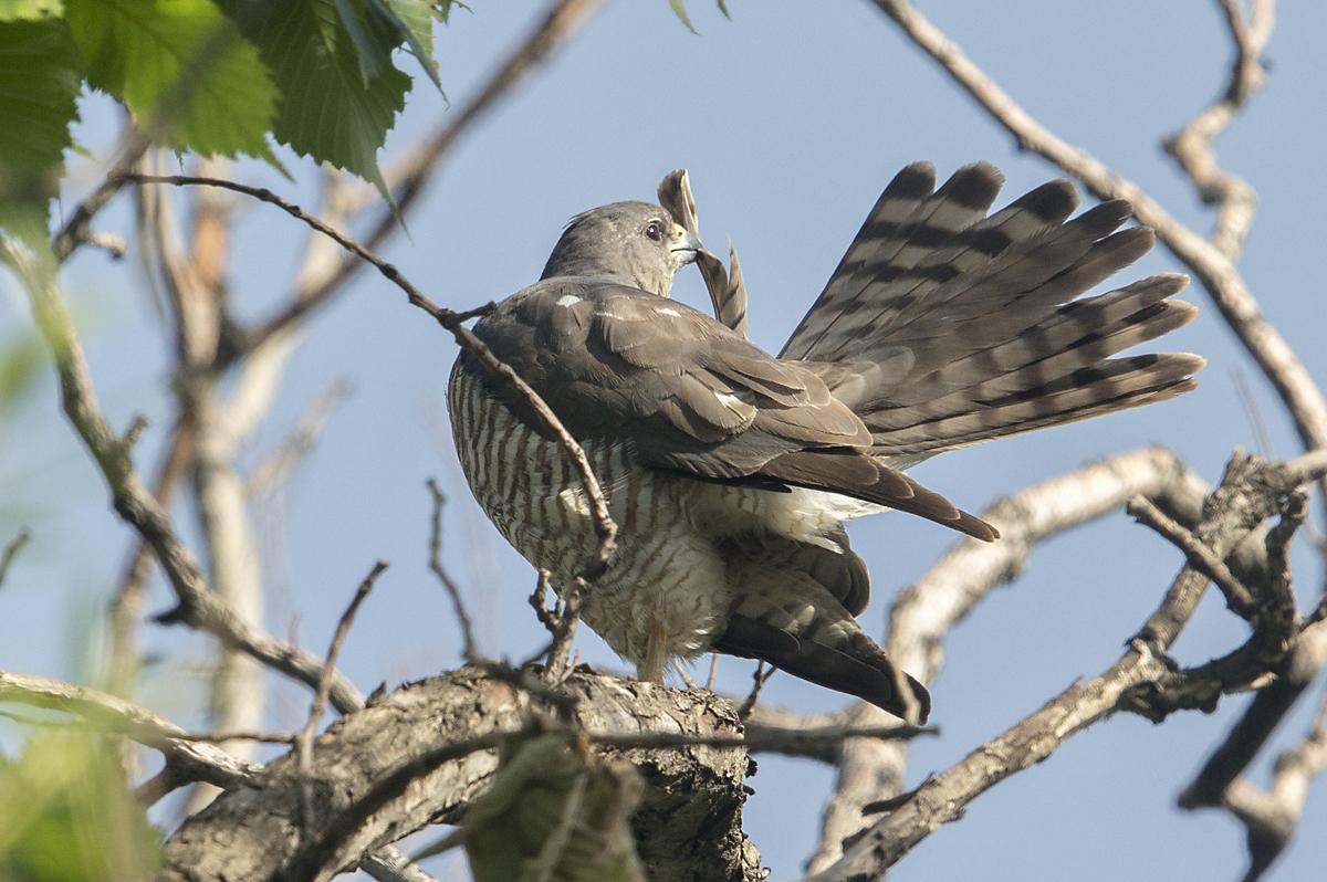 Accipiter brevipes; Armenia; Armenien; Kurzfangsperber; Levant Sparrowhawk; Short-toed Sparrowhawk; birds; falconiformes; female; greifvögel; pröhl; raptors; vögel; weibchen