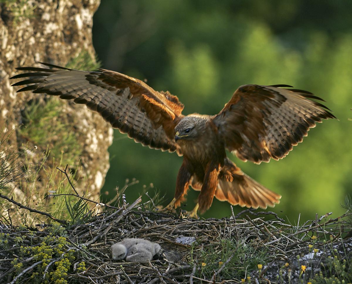 Adlerbussard; Buteo rufinus; bulgarien; flug; greifvögel; nest; pröhl