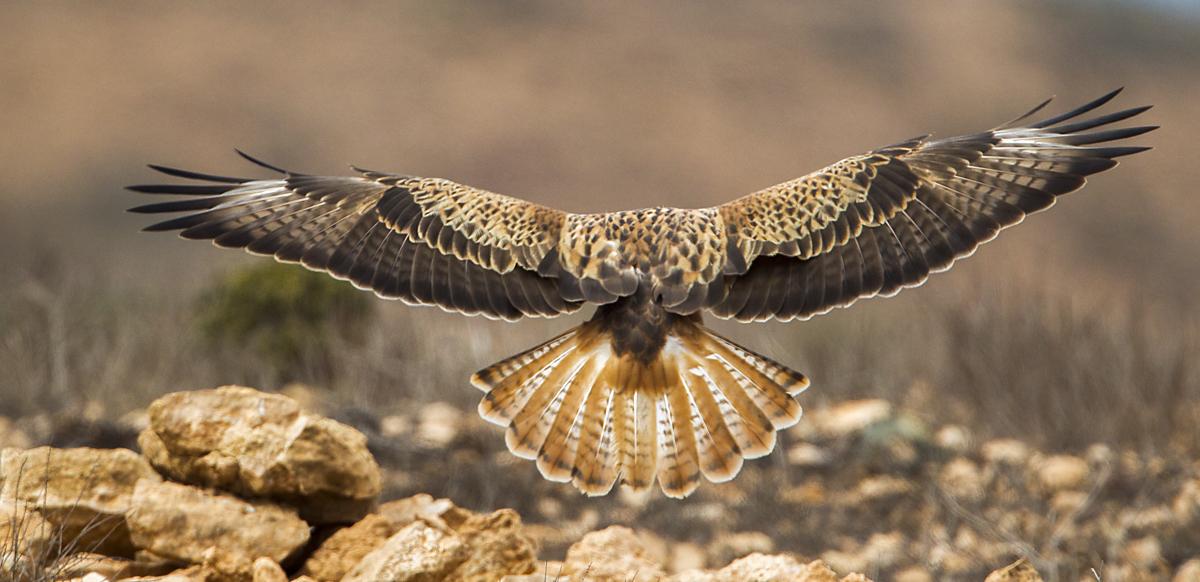 Adlerbussard; Adlerbussard sspec.; Buteo rufinus cirtensis; Long-legged Buzzard; birds; falconiformes; flight; flug; greifvögel; juv.; marokko; pröhl; raptors; vögel