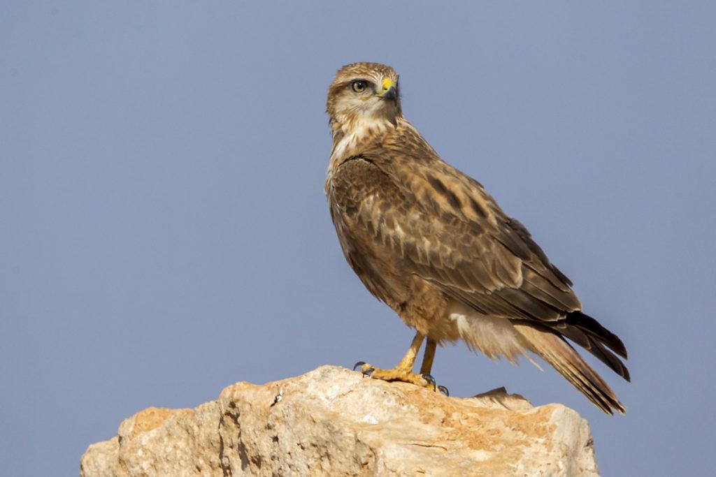 Adlerbussard; Adlerbussard sspec.; Buteo rufinus cirtensis; Long-legged Buzzard; Morocco; birds; falconiformes; flight; flug; greifvögel; marokko; pröhl; raptors; vögel