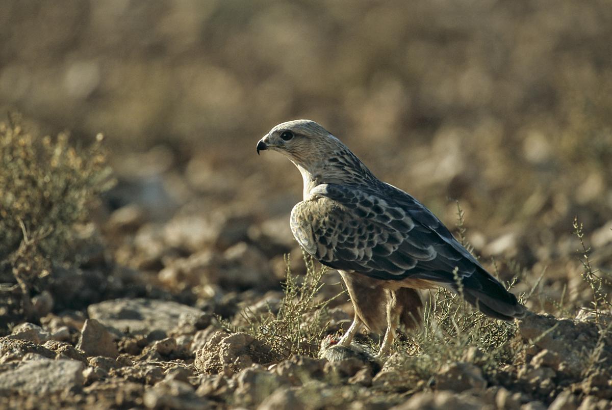 Adlerbussard; Buteo rufinus cirtensis; greifvögel; marokko; pröhl