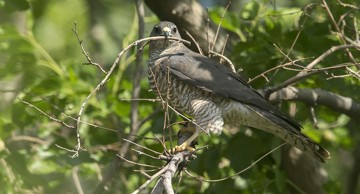Accipiter brevipes; Armenia; Armenien; Kurzfangsperber; Levant Sparrowhawk; Short-toed Sparrowhawk; birds; falconiformes; female; greifvögel; nestbau; nistmaterial; pröhl; raptors; vögel; weibchen