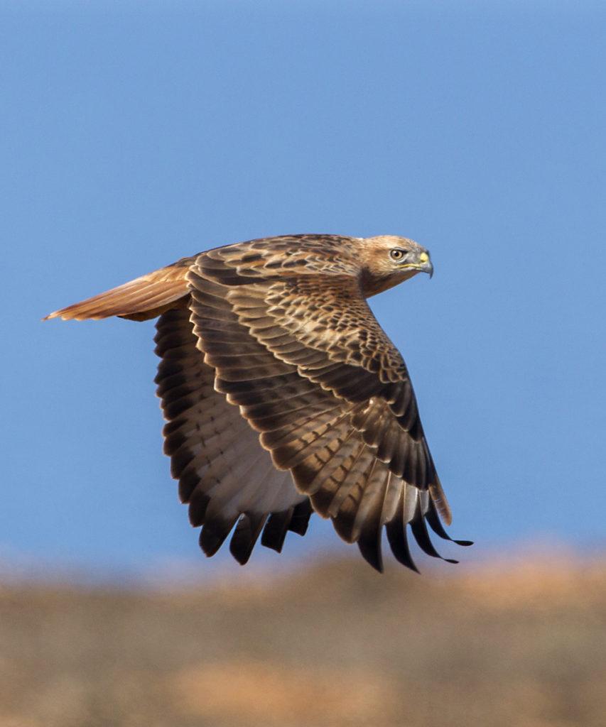 Adlerbussard; Buteo rufinus; Long-legged Buzzard; Morocco; birds; falconiformes; flight; flug; greifvögel; juv.; marokko; pröhl; raptors; vögel