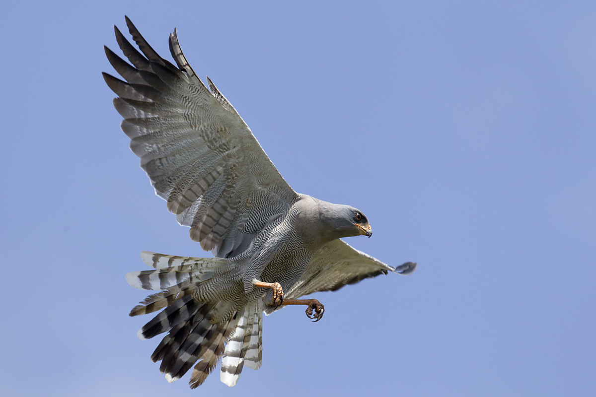 Abessinien; Aethiopien; Dark Chanting-Goshawk; Ethiopia; Graubürzel-Singhabicht; Melierax metabates; ad.; birds; falconiformes; flight; flug; greifvögel; pröhl; raptors; singhabicht; vögel; Äthiopien