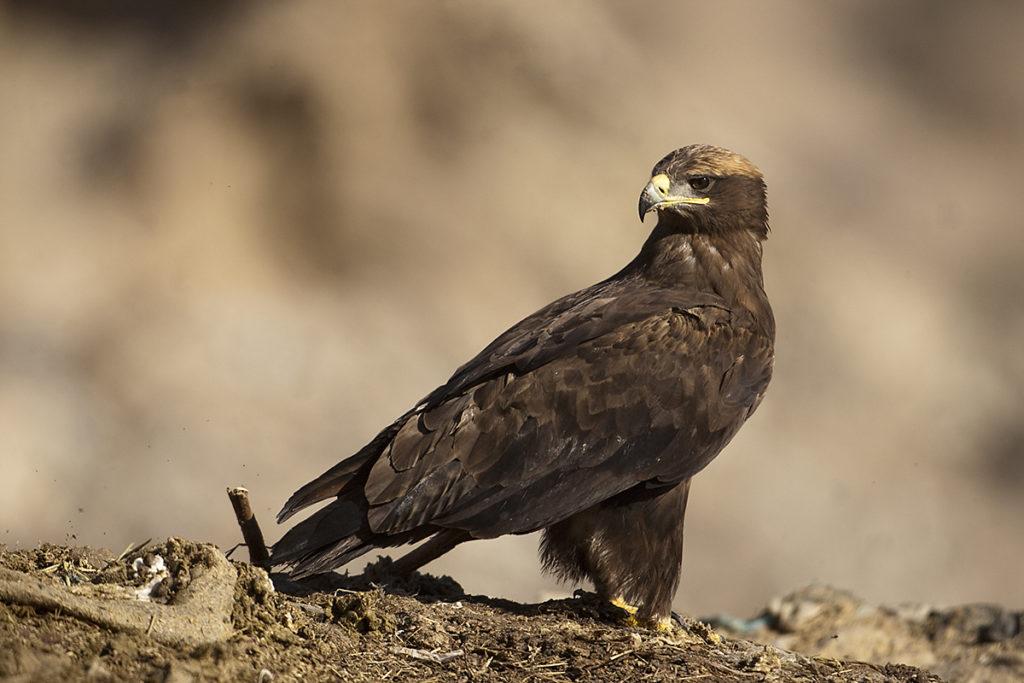Aquila nipalensis; Oman; Steppe Eagle; Steppenadler; ad.; adler; birds; eagle; falconiformes; greifvögel; pröhl; raptors; vögel