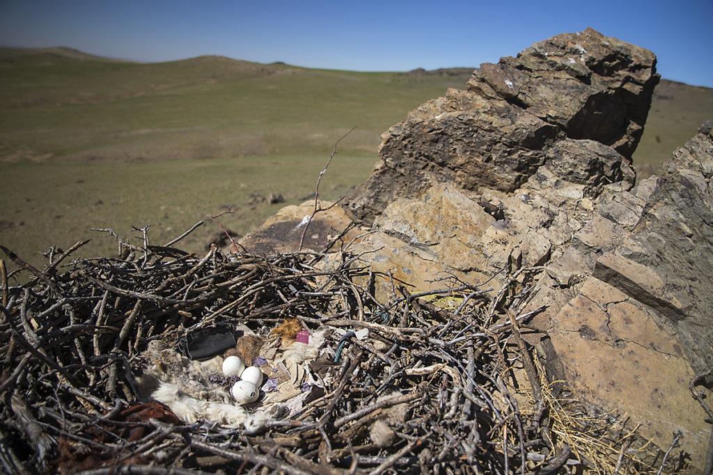 Accipitriformes; Aquila nipalensis; Mongolei; Mongolia; Steppe Eagle; Steppenadler; adler; birds; breed; brut; clutch; eagle; eier; gelege; greifvögel; horst; nest; pröhl; raptors; schlupf; vögel