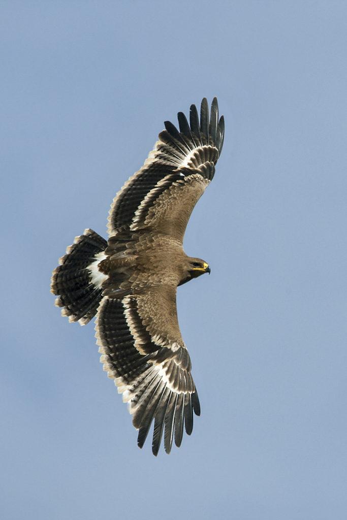 Abessinien; Aethiopien; Aquila nipalensis; Ethiopia; Steppe Eagle; Steppenadler; adler; birds; eagle; falconiformes; flight; flug; greifvögel; juv.; juvenil; pröhl; raptors; vögel; Äthiopien