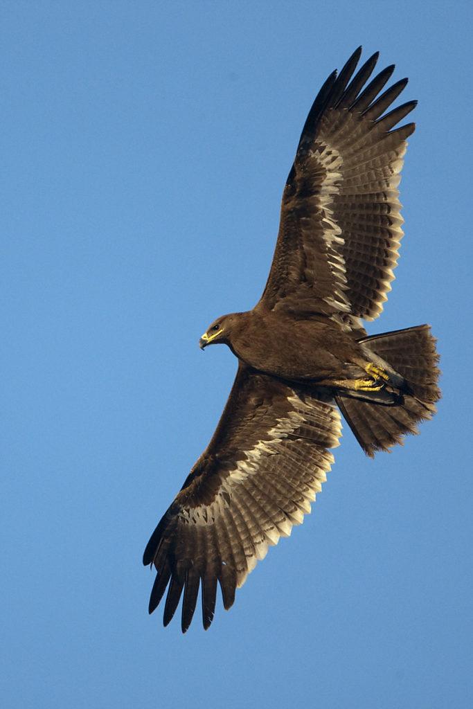 Aquila nipalensis; Oman; Steppe Eagle; Steppenadler; adler; birds; eagle; falconiformes; flight; flug; greifvögel; juv.; pröhl; raptors; vögel