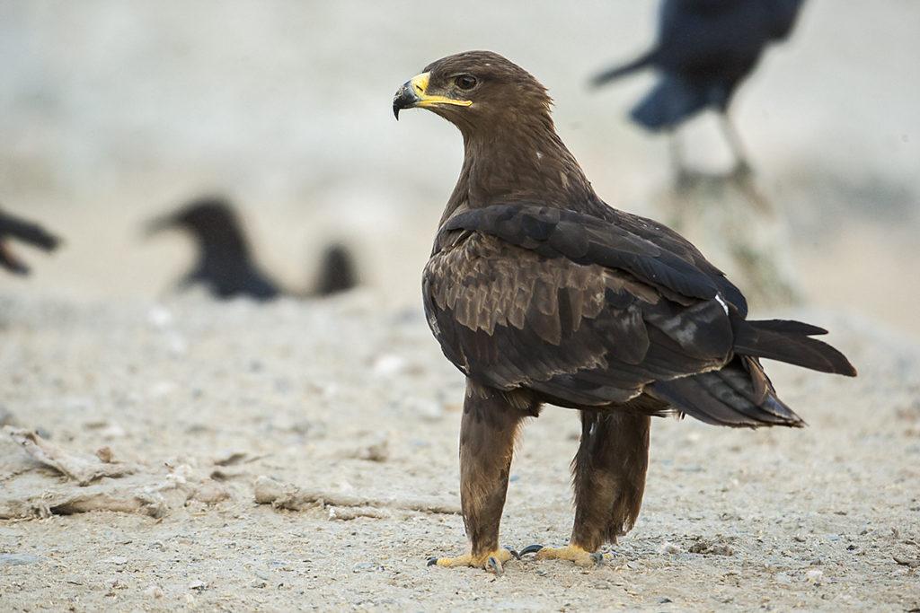 Aquila nipalensis; Oman; Steppe Eagle; Steppenadler; adler; birds; eagle; falconiformes; greifvögel; immat.; pröhl; raptors; vögel