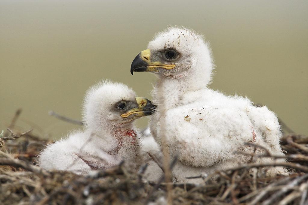 Aquila nipalensis; Kasachstan; Steppe Eagle; Steppenadler; adler; birds; breed; brut; eagle; falconiformes; greifvögel; horst; juv.; nest; pröhl; raptors; vögel