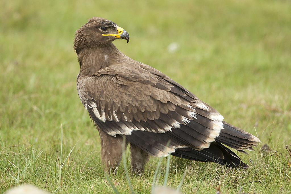 Abessinien; Aethiopien; Aquila nipalensis; Ethiopia; Steppe Eagle; Steppenadler; adler; birds; eagle; falconiformes; greifvögel; juv.; juvenil; pröhl; raptors; vögel; Äthiopien