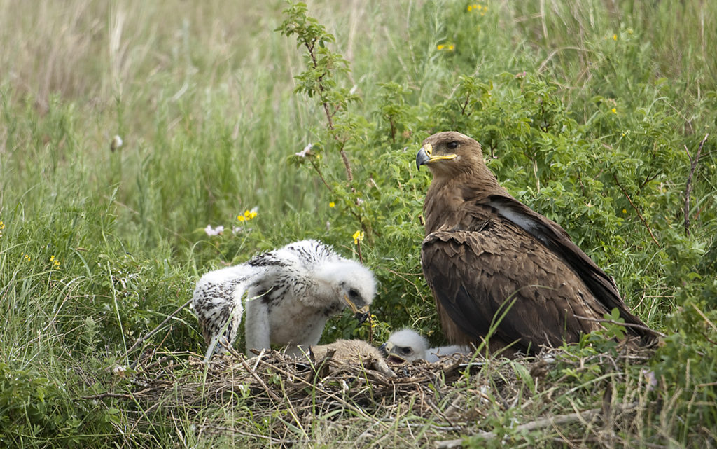 Aquila nipalensis; Kasachstan; Steppe Eagle; Steppenadler; adler; birds; breed; brut; eagle; falconiformes; greifvögel; horst; nest; pröhl; raptors; vögel