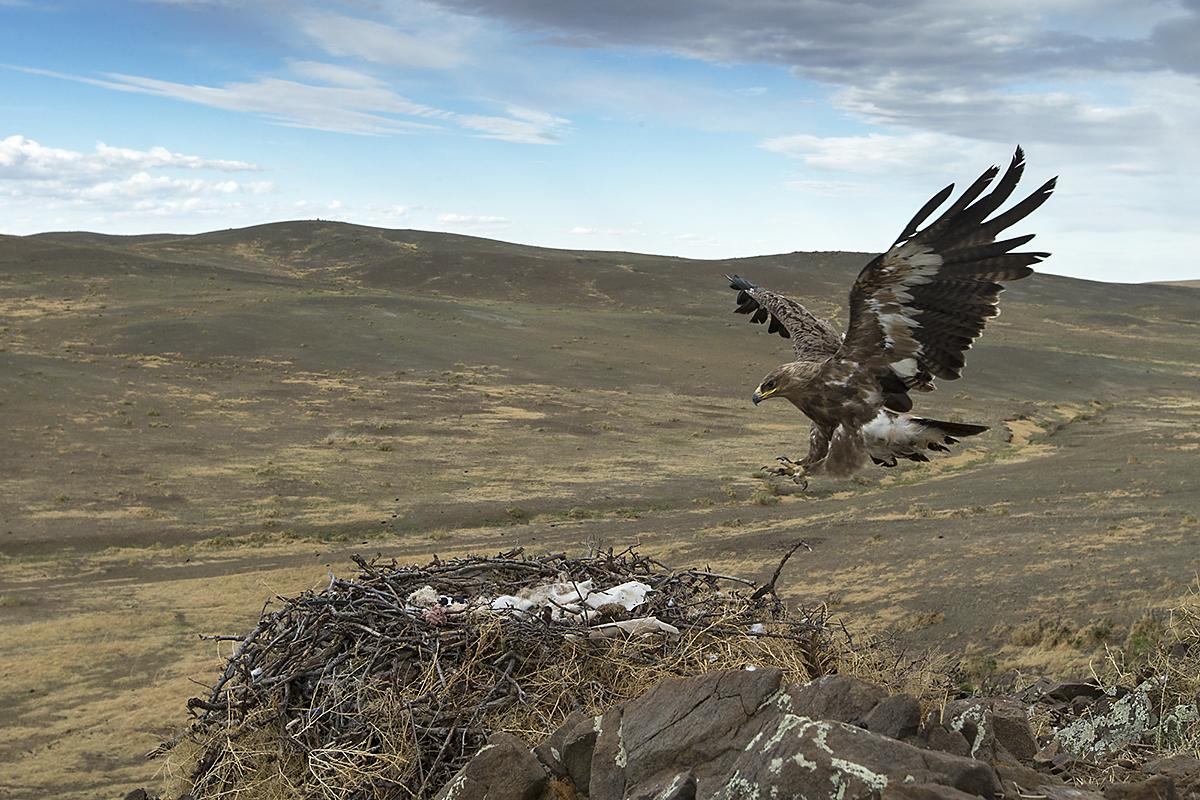 Accipitriformes; Aquila nipalensis; Mongolei; Mongolia; Steppe Eagle; Steppenadler; adler; birds; breed; brut; eagle; greifvögel; horst; nest; pröhl; raptors; vögel