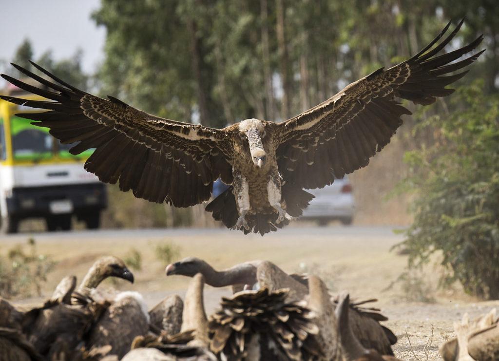 Abessinien; Accipitriformes; Aethiopien; Ethiopia; Gyps rueppellii; Rüppell`s Vulture; Sperbergeier; birds; flight; flug; geier; greifvögel; pröhl; raptors; vulture; vögel; Äthiopien