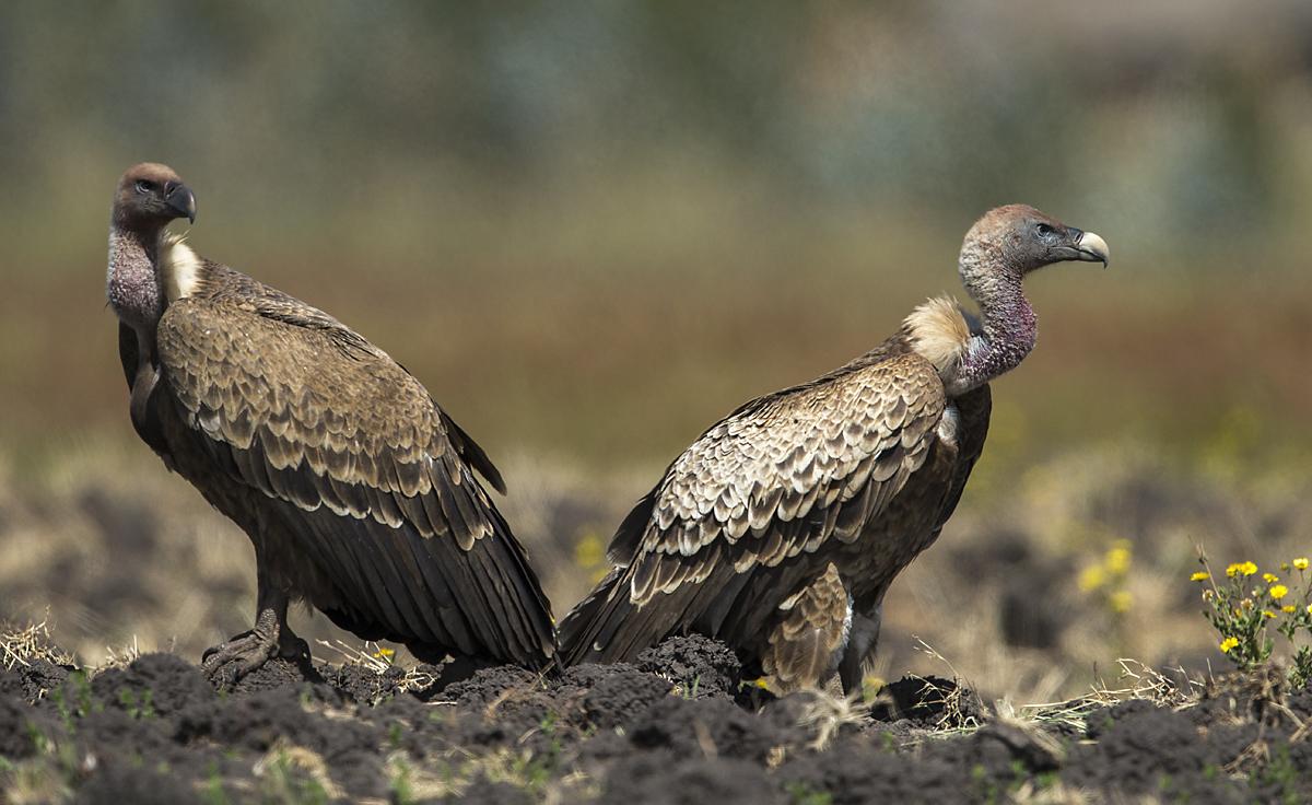 Abessinien; Accipitriformes; Aethiopien; Ethiopia; Gyps rueppellii; Rüppell`s Vulture; Sperbergeier; birds; geier; greifvögel; pröhl; raptors; vulture; vögel; Äthiopien