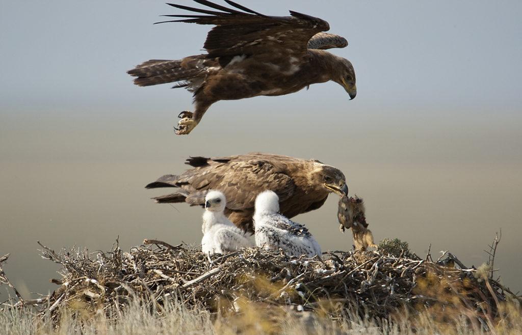 Aquila nipalensis; Kasachstan; Steppe Eagle; Steppenadler; adler; birds; breed; brut; eagle; falconiformes; flight; flug; greifvögel; horst; nest; pröhl; raptors; vögel