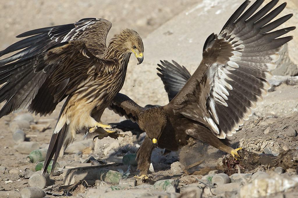 Aquila heliaca; Aquila nipalensis; Imparial Eagle; Kaiseradler; Oman; Steppe Eagle; Steppenadler; adler; battle; birds; eagle; falconiformes; fight; greifvögel; juv.; kampf; pröhl; raptors; vögel