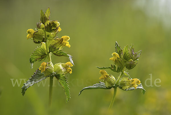 Kleiner Klappertopf (Rhinanthus minor)